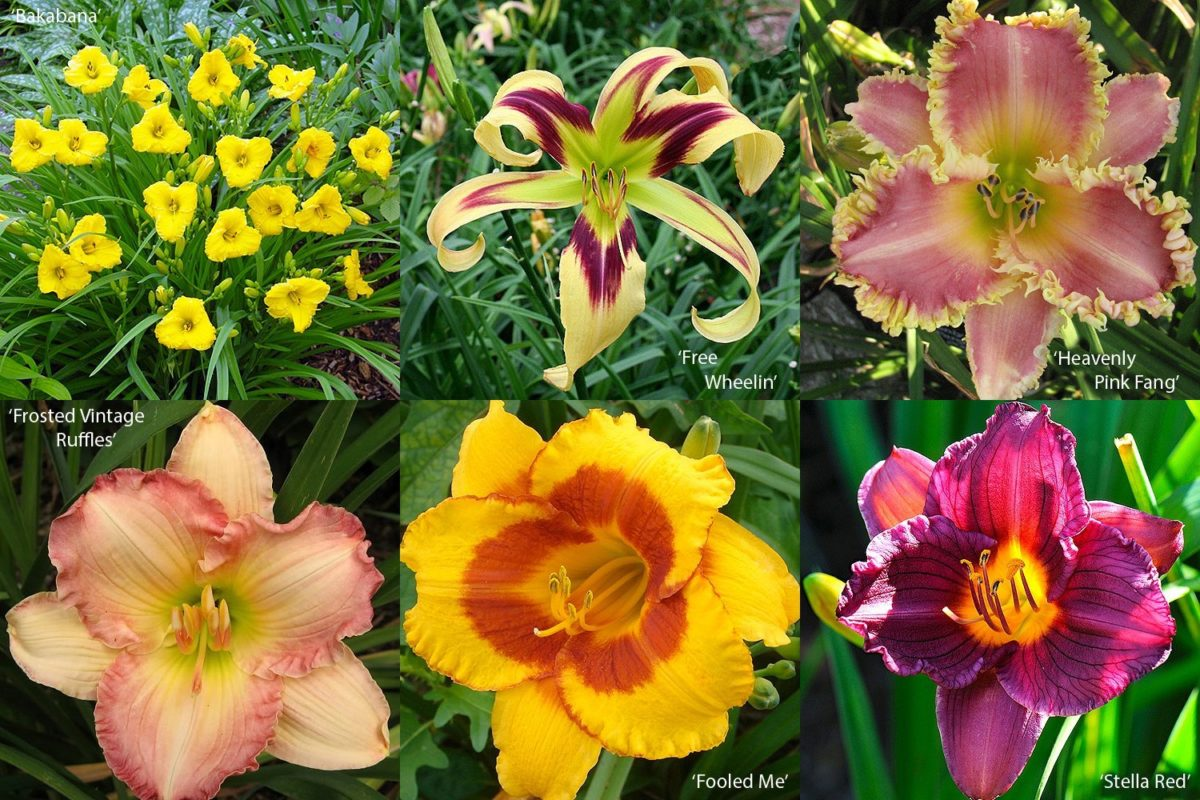 a15489eefb FLORIANA Collection Hemerocallis